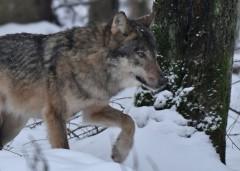 42-latek zpowiatu oskarżony ozastrzelenie wilka zRoztoczańskiego Parku Narodowego