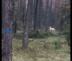 Biały daniel wokolicach biłgorajskich lasów