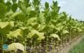Plantatorzy tytoniu czekają na reakcję rządu