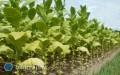 Nowe możliwości odzyskania pieniędzy plantatorów