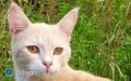 Kot Jawajski - co trzeba wiedzieć decydując się na tę rasę?